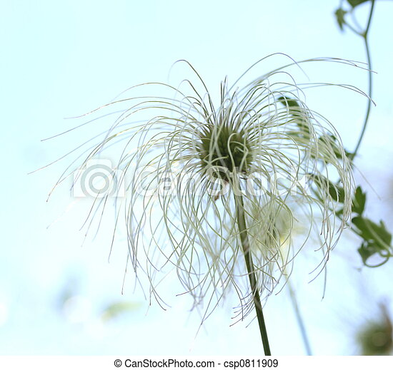 clematis seed head - csp0811909