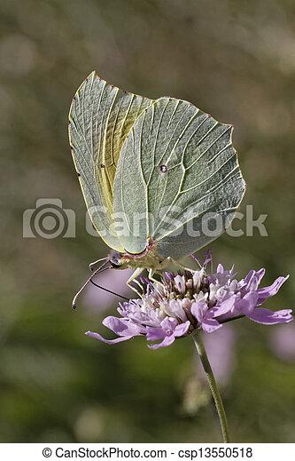 Cleopatra butterfly (Gonepteryx) - csp13550518