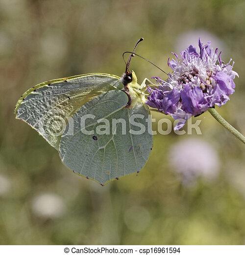 Cleopatra butterfly, Gonepteryx - csp16961594