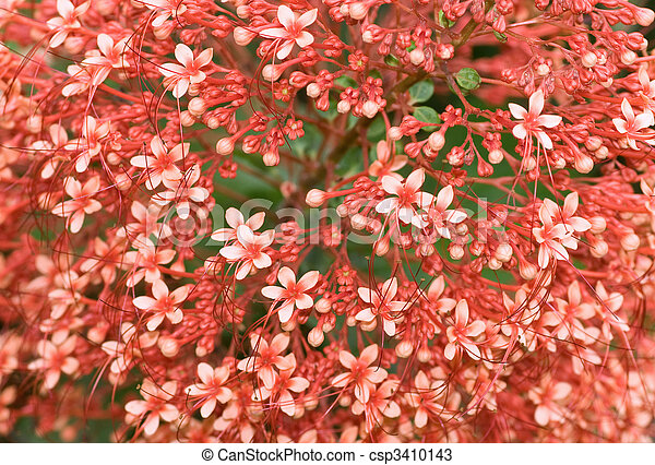 Clerodendrum paniculatum flowers at full bloom a delight - csp3410143