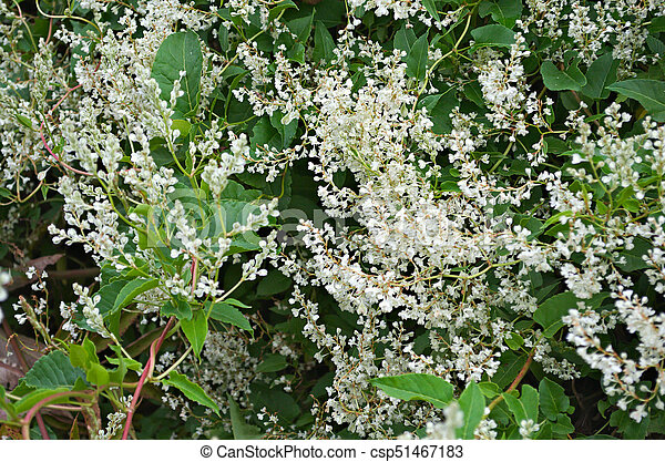 Climbing Plant Blooming White Flowers Close Up