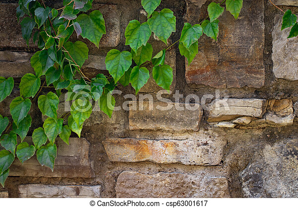 climbing plant with green leaves on the old stone wall - csp63001617