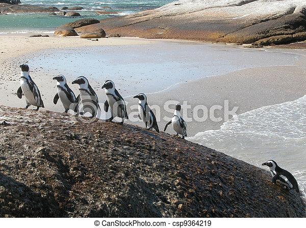 climbing-spheniscus, divertente, pinguini, demersus - csp9364219