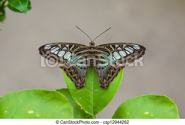 Clipper butterfly resting on leaf - csp12944262