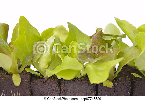 close on leaf a of lettuce seedlings in dirt on white background - csp67748820