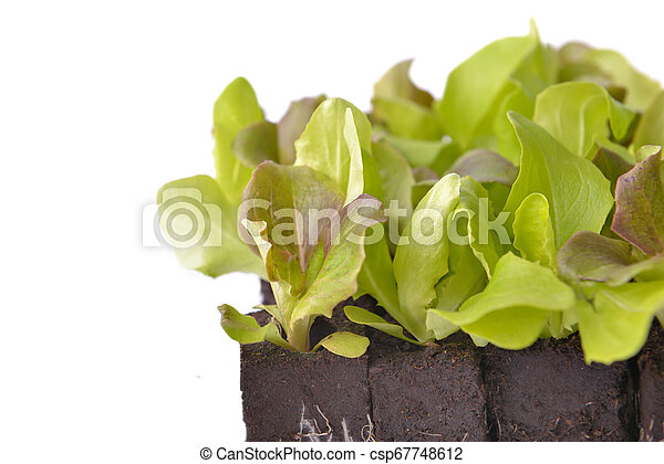 close on leaf of lettuce seedlings in dirt on white background - csp67748612