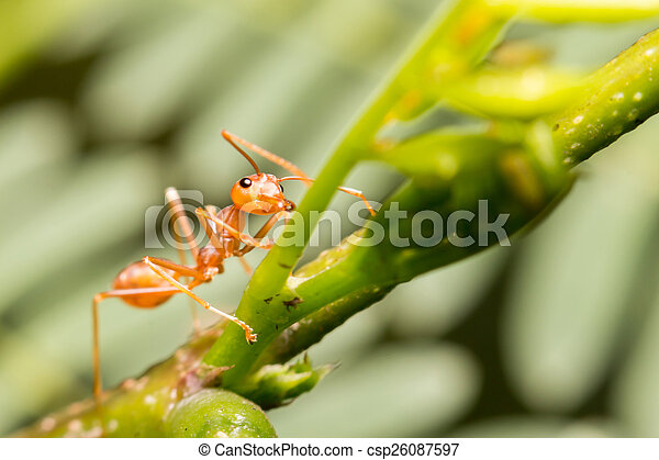 close-up ant on green leaf - csp26087597