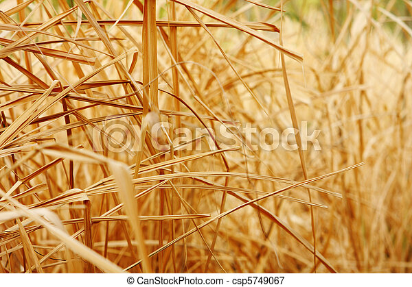 Close up background texture of dry grass  - csp5749067