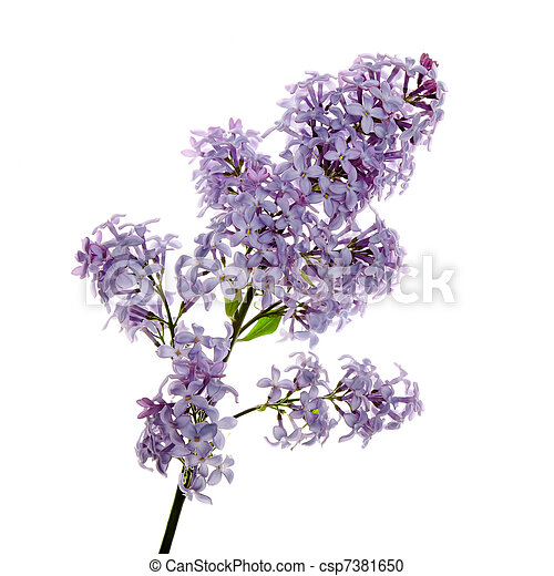 Close-up beautiful lilac flowers - csp7381650