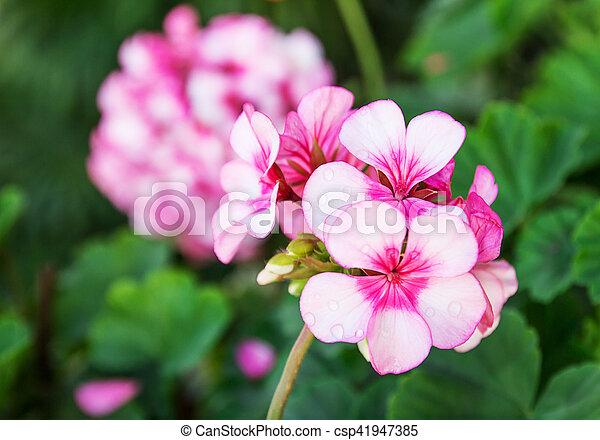Close up beautiful pink flowers - csp41947385