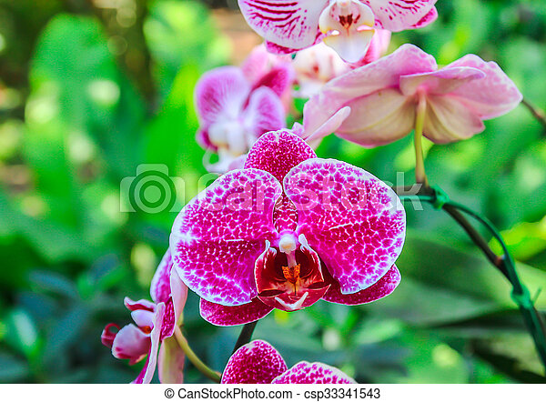 Close up beautiful pink orchid - csp33341543