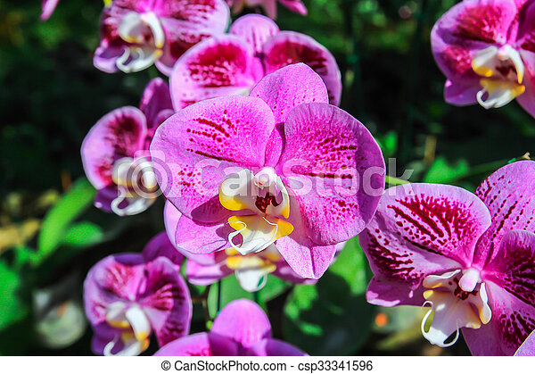 Close up beautiful pink orchid - csp33341596