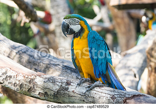 Close up Bird Blue-and-yellow macaw standing on branch of tree - csp87489529