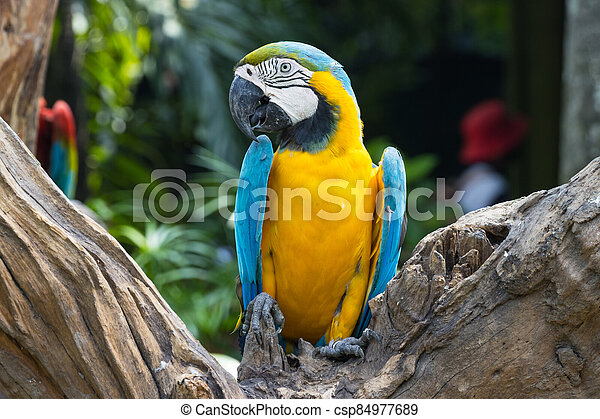 Close up  Blue and yellow Macaw on a branch - csp84977689