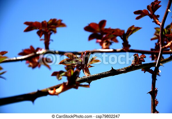 close up branch with young red and green leaves of spray roses on blue sky background. rose bush growing in soil in garden in spring sunny day. copy space - csp79802247