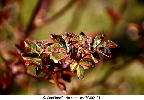 close up branch with young red and green leaves of spray roses. floral background. rose bush growing in soil in garden in spring sunny day. copy space - csp79802191