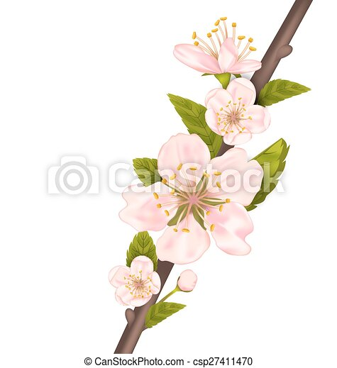 Close Up Cherry Blossom, Branch of Tree - csp27411470
