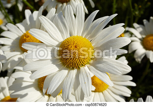 Close up detail of a white marguerite daisy - csp50874620
