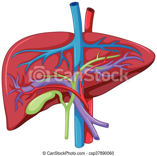 Close up diagram of liver anatomy illustration close up diagram of liver anatomy csp37890060 ccuart Image collections