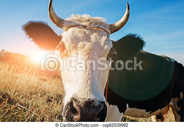 Close-up face of horned black and white cow outdoor. Cow staring and at the camera and sniffing it - csp62539982