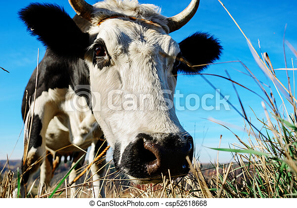 Close-up face of horned black and white cow outdoor. Cow staring and at the camera and sniffing it - csp52618668