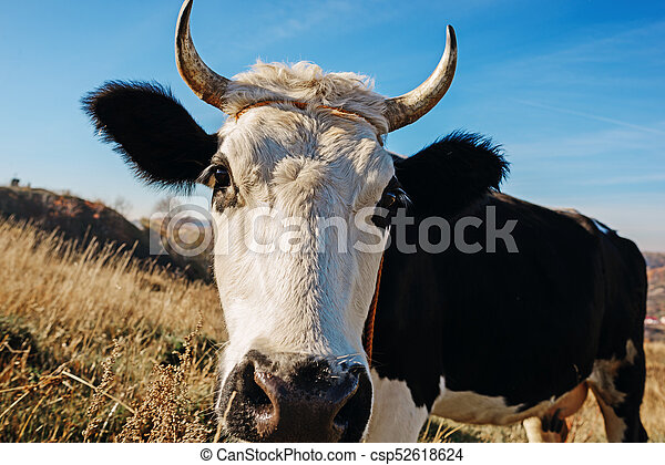 Close-up face of horned black and white cow outdoor. Cow staring and at the camera and sniffing it - csp52618624