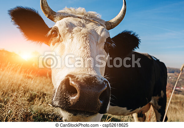 Close-up face of horned black and white cow outdoor. Cow staring and at the camera and sniffing it - csp52618625