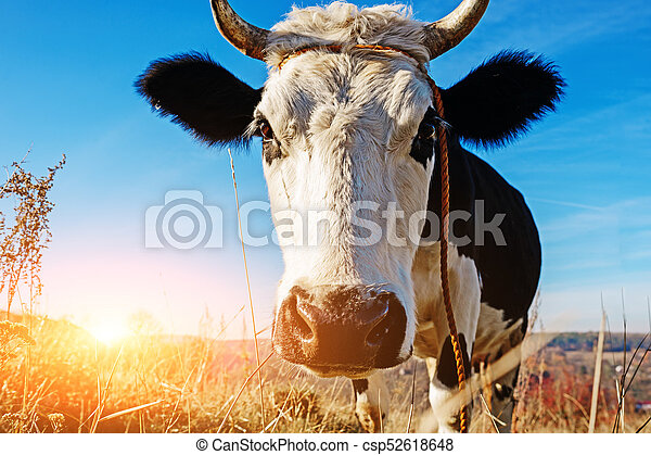 Close-up face of horned black and white cow outdoor. Cow staring and at the camera and sniffing it - csp52618648