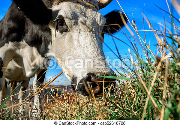 Close-up face of horned black and white cow outdoor. Cow staring and at the camera and sniffing it - csp52618728