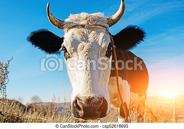 Close-up face of horned black and white cow outdoor. Cow staring and at the camera and sniffing it - csp52618693