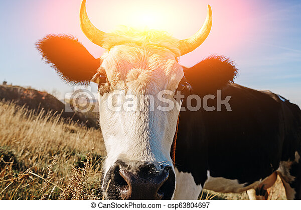 Close-up face of horned black and white cow outdoor. Cow staring and at the camera and sniffing it - csp63804697