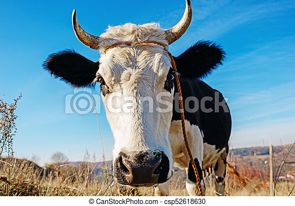 Close-up face of horned black and white cow outdoor. Cow staring and at the camera and sniffing it - csp52618630