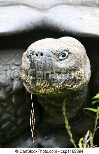 Close up Giant Galapagos Tortoise - csp1163394
