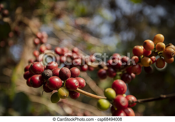 close up green yellow and red of organic coffee seed on tree branch - csp68494008