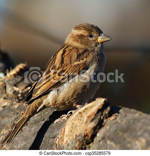 Close up House Sparrow on branch - csp35285579
