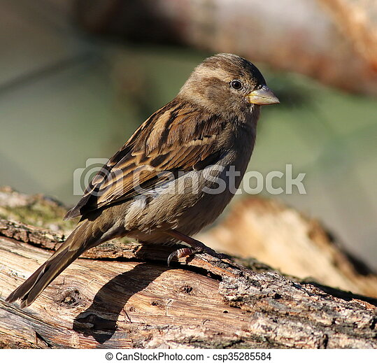 Close up House Sparrow on branch - csp35285584