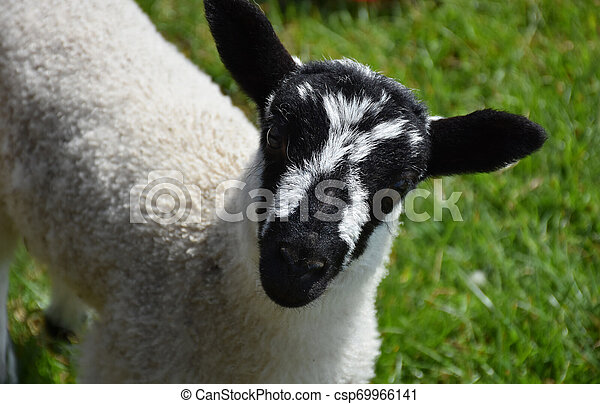 Close Up Look Into the Face of a Very Cute Lamb in Herefordshire - csp69966141
