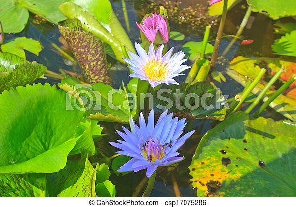 Close up lotus flower - csp17075286