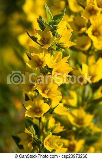 Close up lysimachia vulgaris yellow garden flowers lysimachia close up lysimachia vulgaris csp20973266 mightylinksfo