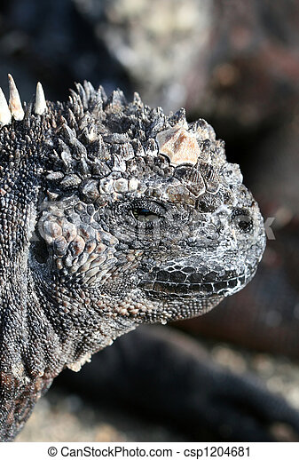 Close Up Marine Iguana - csp1204681