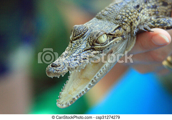 close up of a baby crocodile s face with mouth open showing its