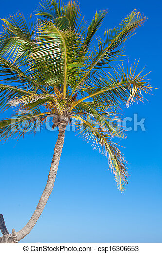 Close-up of a big palm tree on background blue sky - csp16306653