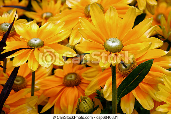 Close-up of a bunch of yellow daisy flowers - csp6840831