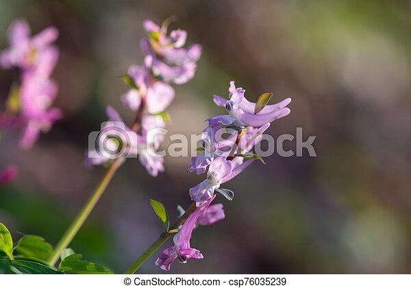 close up of a corydalis wild flower on natural dark blackground - csp76035239