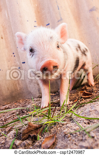 Close-up of a cute muddy piglet running around outdoors on the farm. Ideal image for organic farming - csp12470987