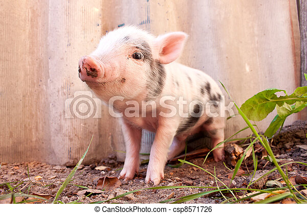 Close-up of a cute muddy piglet running around outdoors on the farm. Ideal image for organic farming - csp8571726