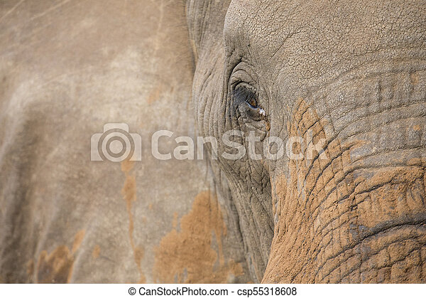 Close-up of a dirty elephant ear, eye and nose - csp55318608