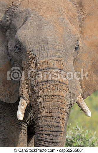 Close-up of a dirty elephant tusk, ear, eye and nose - csp52265881