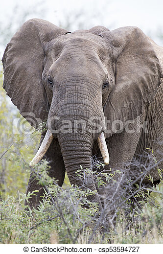 Close-up of a dirty elephant tusk, ear, eye and nose - csp53594727