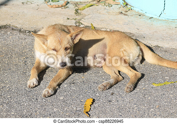 Close up of a dog lying in the sun on the road. - csp88226945